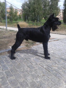 Schnauzar Gigante Negro Jeico Lamayo