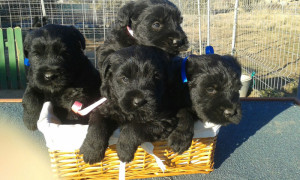 Cachorros de Schnauzer Gigante Negro con 30 días
