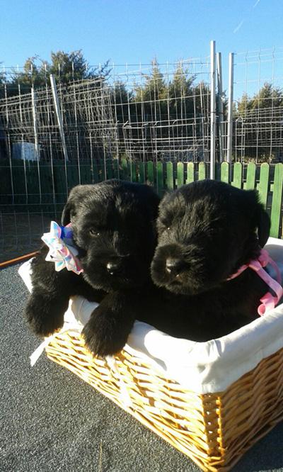Cachorros de Schnauzer Gigante Negro Disponibles