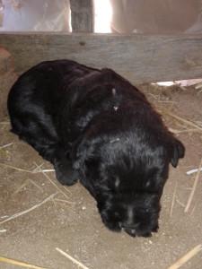 Cachorro Schnauzer Gigante Negro con 18 días
