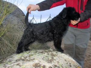 Ava Del Trio de Vientos - Cachorros Schnauzer Gigante Negro