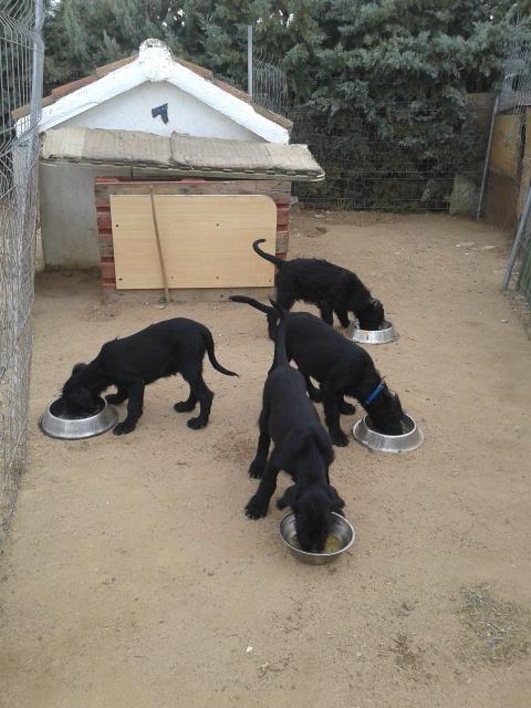 Cachorros Schnauzer Gigante Negro con 3 meses